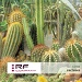 cactuses (JUF-CD60)