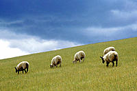Sheep grazing. Scotland. UK. Europe