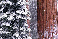 Sierra Redwood in winter. Sequoia National Park. California. USA
