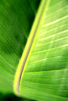 Banana leaf close-up