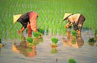 Women picking rice. Vietnam