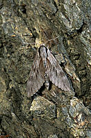 Pine Hawk Moth (Hyloicus pynastri)