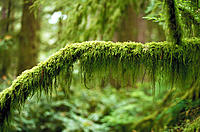 Forest moss. Redwood forest. California. USA
