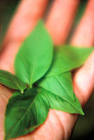 Hand with basil leaves