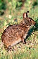 Marsh Rabbit (Sylvilagus palustris). Lake Woordruff National Wildlife Refuge. Florida. USA