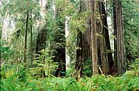 Redwoods (Sequoia sempervirens) and Sitka Spruce (Picea sitchensis). Simpson Reed Grove. Jedediah Smith Redwoods State Park. California. USA