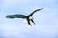 Bald Eagle flying (Haliaeetus leucocephalus)