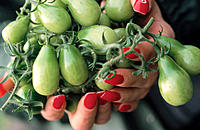 Close-up of a woman´s hands with red nail polish cupped together holding a bunch of small green tomatoes on the vine