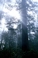 Redwood forest. CA. USA