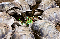 Giant turtles. La Digue Island. Seychelles