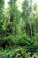 Redwoods (Sequoia semprevirens) and ferns. Prairie Creek Redwoods State Park. California. USA
