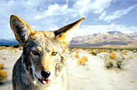 Coyote, Baja California desert, digital composite