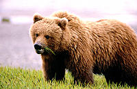 Brown Bear (Ursus arctos). Alaska. USA