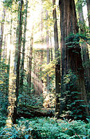 Redwoods (Sequoia sempervirens). Humboldt Redwoods SP. California. USA