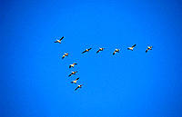 Snow Geese (Chen caerulescens) flighting. California. USA