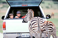 Children in truck and zebras. Fossil Rim Wildlife Center. Glen Rose. Texas. USA