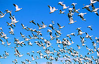 Snow Geese in flight. New Mexico. USA