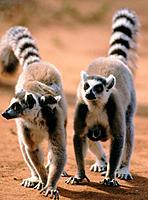 Ring-tailed Lemur (Lemur catta). Berenty reserve. Madagascar