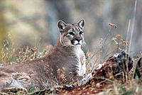 Cougar (Felis concolor) at rest