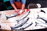 Cleaning freshly caught salmon. Depoe Bay. Oregon. USA