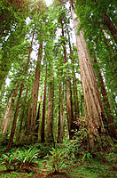 Giant Redwoods. Stout Grove. Jedediah Smith Redwoods State Park. California. USA