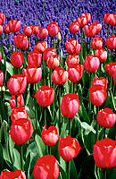 Masses of red-and-white tulips with hyacinths in background,  Keukenhoff gardens,  Lisse,  the Netherlands
