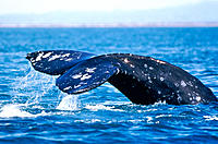 Gray Whale (Eschrichtius robustus). San Ignacio lagoon. Baja California. Mexico