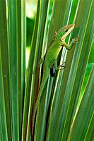Green Anole (Anolis carolinensis). South Carolina. USA