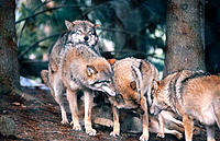 Wolves (Canis lupus), hierarchical ceremony: greeting each other after waking up. Bayerwald-Tierpark preserve. Bavaria. Germany
