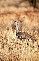 Kori Bustard (Ardeotis kori). Zimbabwe
