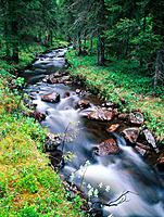 Streamy brook in spruce forest. Lapland. Sweden