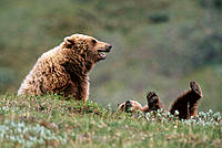 Grizzly Bears (Ursus arctos). Denali NP. Alaska. USA