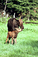 Moose mother nuzzling calf
