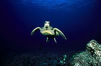 Green Turtle (Chelonia mydas). Hawaii. USA