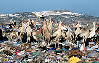 White Storks (Ciconia ciconia) at dump. Spain