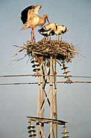 White Storks (Ciconia ciconia) on nest. Spain