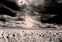 Sunflowers and bird