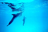 Spotted Dolphins (Stenella frontalis). Bahamas