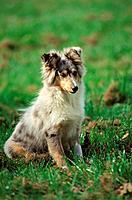Shetland sheepdog, puppy