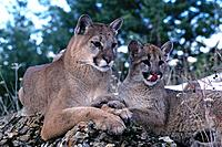 Cougars (Felis concolor), adult and young, captive. Montana. USA
