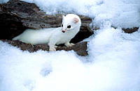 Long-tailed Weasel (Mustela frenata or Mustela longicauda). This diurnal mustelid preys on mice and voles and stores food. Its habitat is usually near...