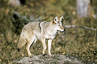 Coyote (Canis latrans) with vole