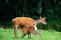 Red Deers (Cervus elaphus), mother and calf
