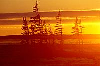 Spruces at sunset. Hudson Bay. Canada