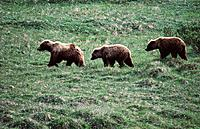 Grizzly Bears (Ursus arctos). Denali National Park. Alaska. USA