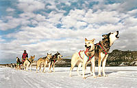 Dog Sled Team Standing and Resting, Lead Dog Howling