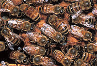 Close-up, Honey Bees inside Hive
