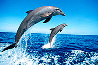 Bottlenose Dolphins (Tursiops truncatus). Anthony´s Key Resort, trained dolphins at the Research Center, Roatan Island, Honduras, Central America