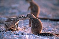 Kap-Erdhörnchen
