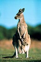 Känguruh Östliches Graues Riesenkänguruh